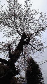 2010年 4月16日桜
