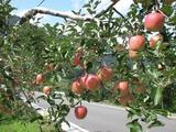 長野りんご01