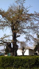 2010年 5月4日桜散る