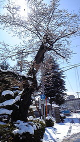 2010年 4月17日 雪桜1