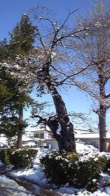 2010年 4月17日 雪桜2