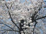 2012年4月25日臼田小学校前桜03