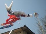 2011年5月5日鯉のぼり