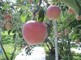 長野りんご02
