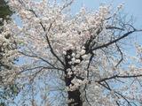2012年4月25日臼田小学校前桜02